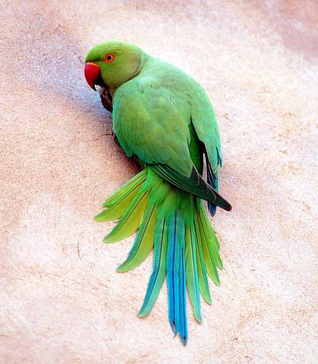 pappagallo-parrocchetto-dal-collare-psittacula-krameri