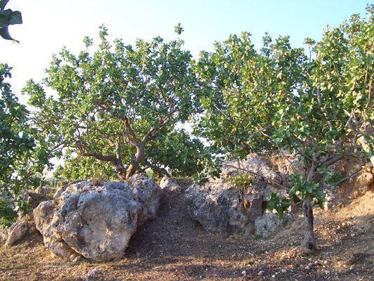 pistacchi-piante