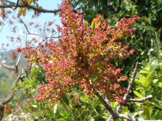 pistacchio-fioritura-maschile-di-terebinto