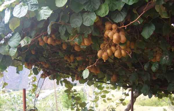 potatura-kiwi-actinidia