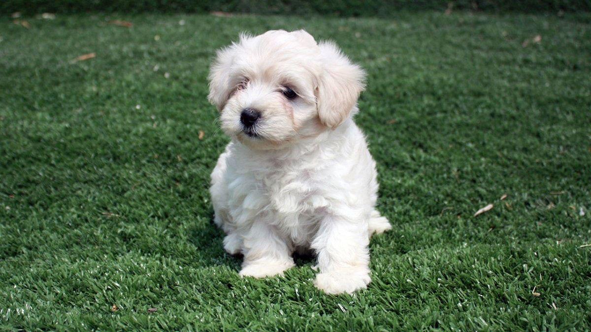 Barboncino nano il piccolo cane da compagnia che viene for Barboncino nano toy