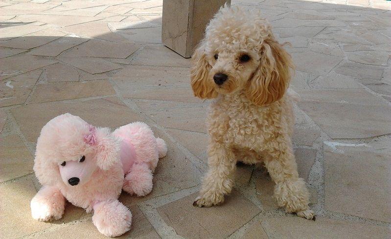 Barboncino nano il piccolo cane da compagnia che viene - Barboncino piccolo ...