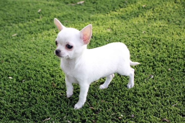 Chihuahua nano