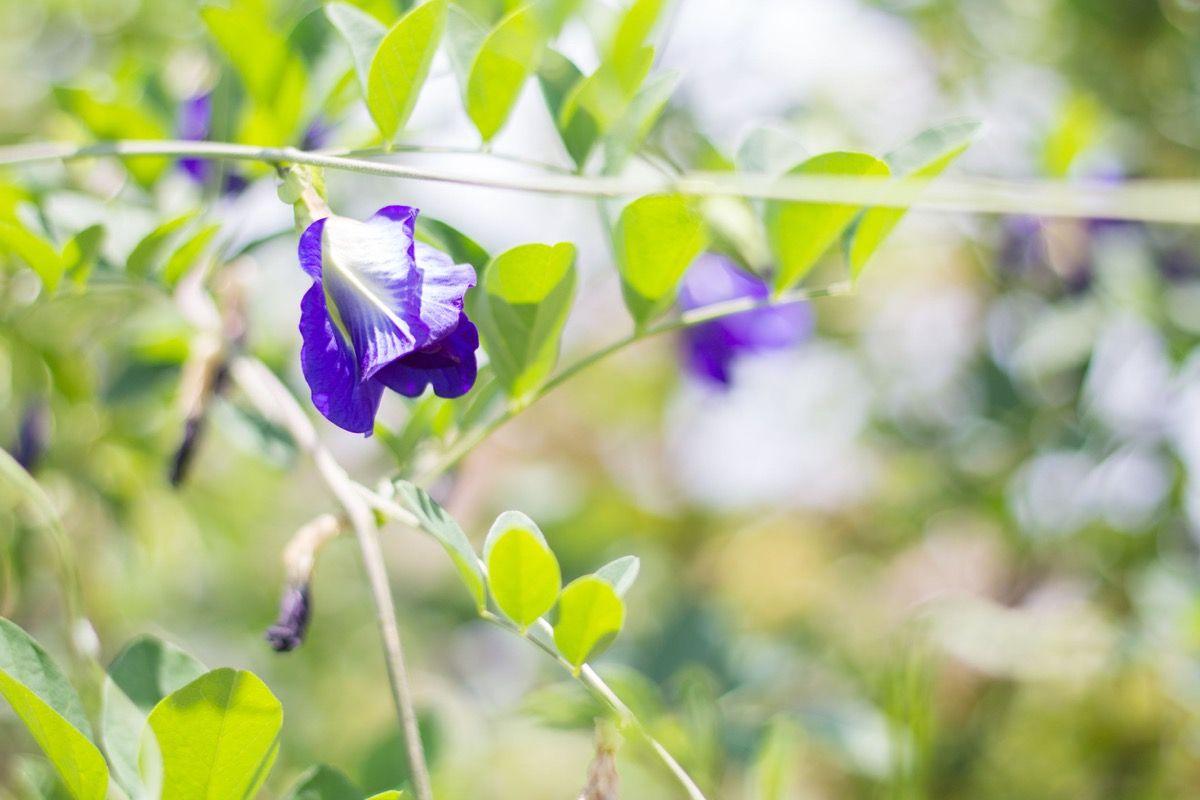 Fasi di semina Pisello odoroso