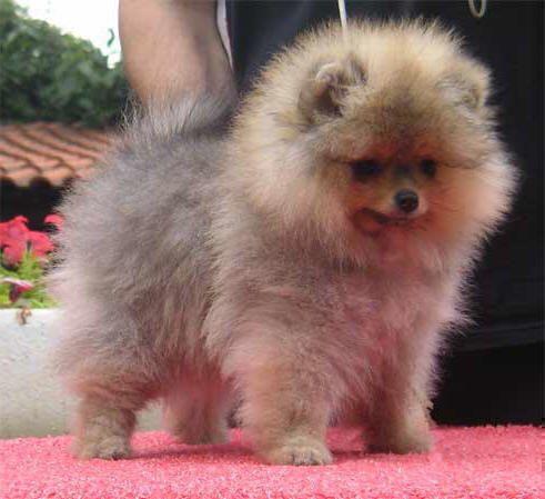 Spitz di pomerania un cane di piccola taglia tipicamente - Spitz toy prezzo ...