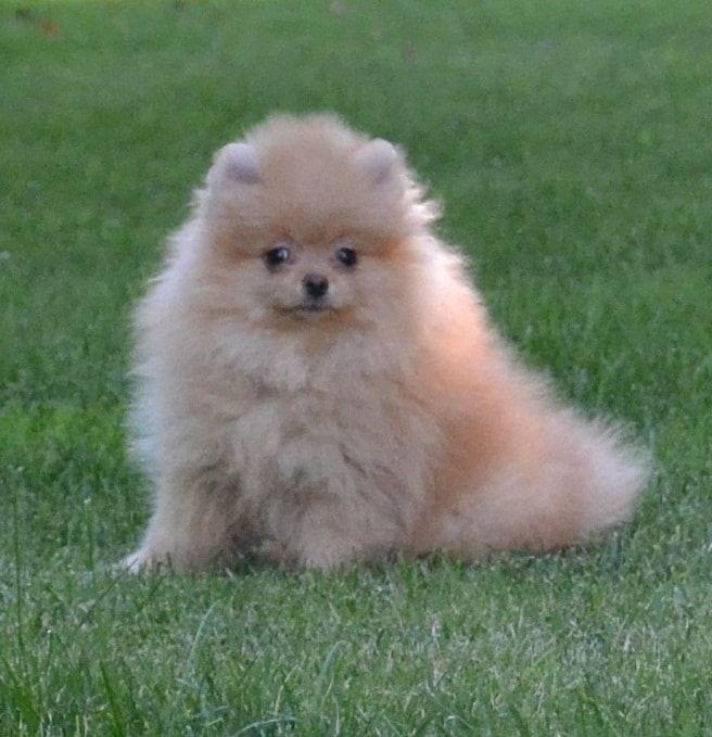 Spitz di pomerania un cane di piccola taglia tipicamente for Volpino pomerania nano