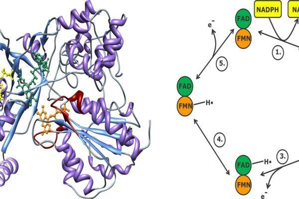 citocromo P450