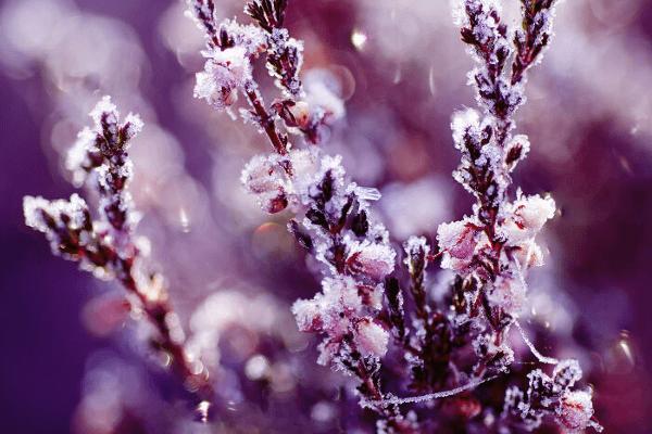 pianta erica fiori