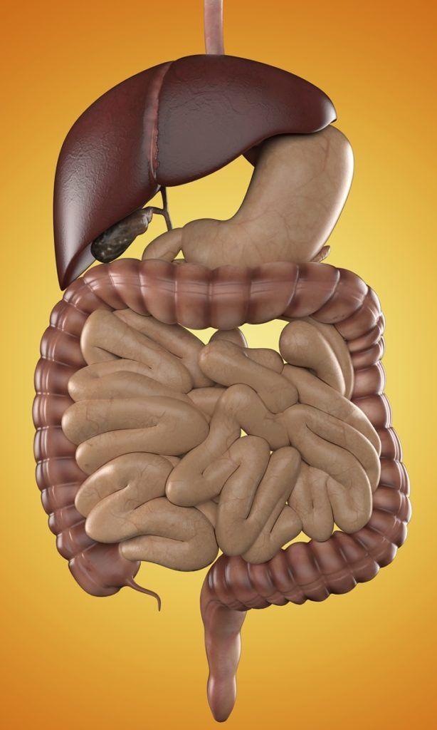 Apparato digerente: il fegato