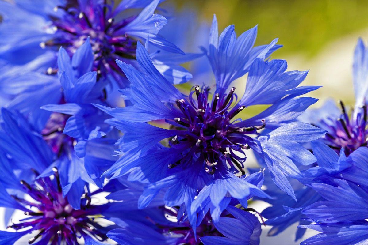 Modi d'uso dei fiori di fiordaliso