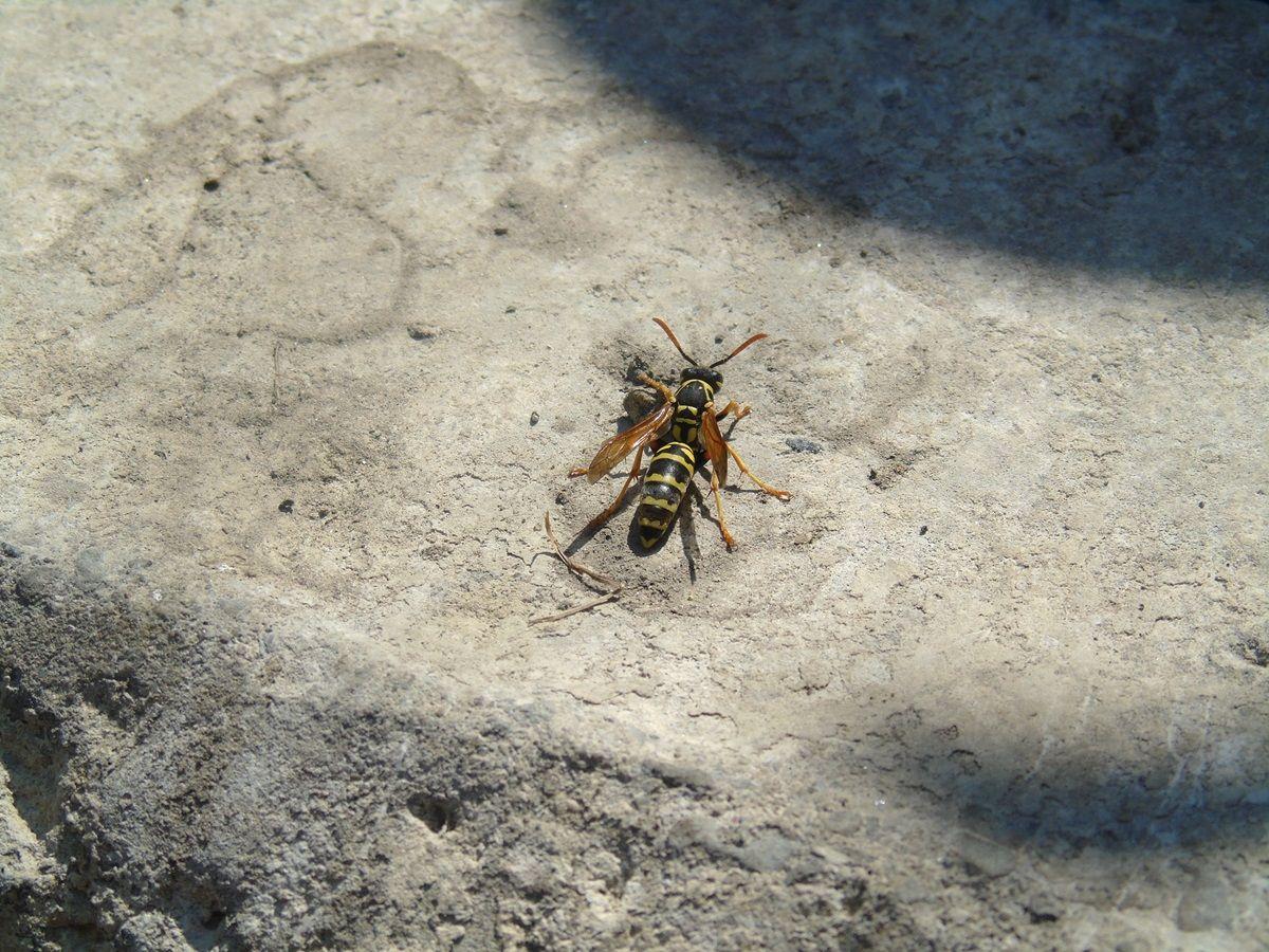 cos'è una Puntura di vespa