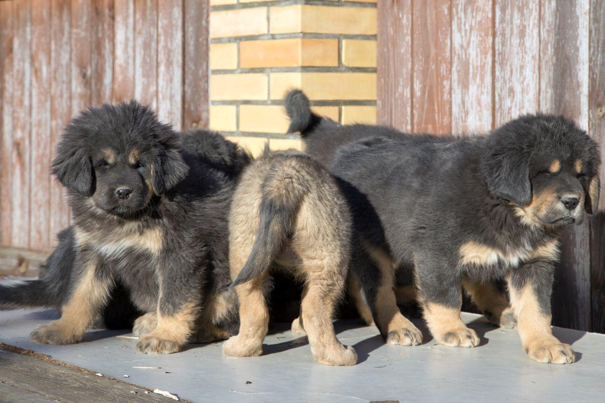 cuccioli pastore tibetano