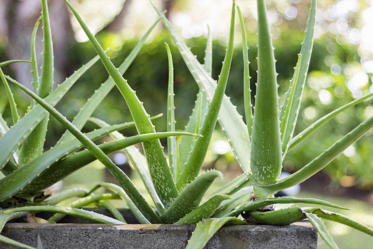 Pianta Foglie Rosse E Verdi photinia red robin: una siepe speciale. come coltivarla?