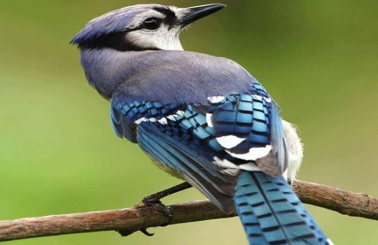 animali blu rari perché