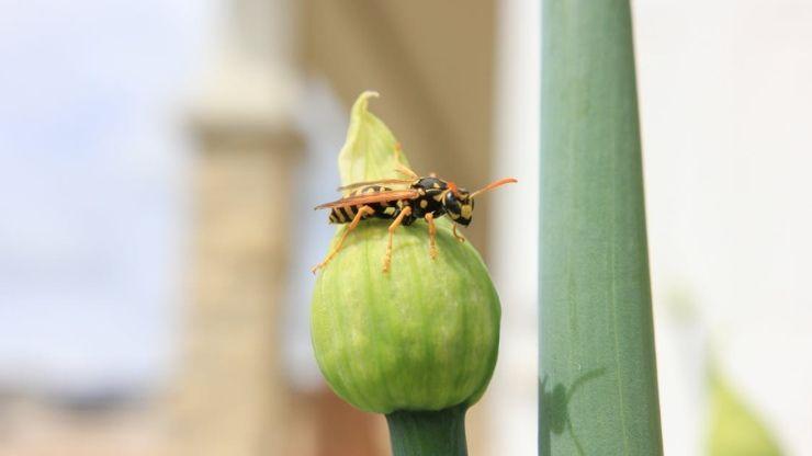 piante tenere lontano vespe calabroni