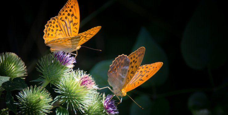 piante che attirano le farfalle