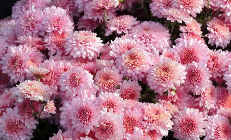 crisantemio