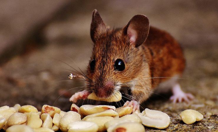 topo mangia dieta studio