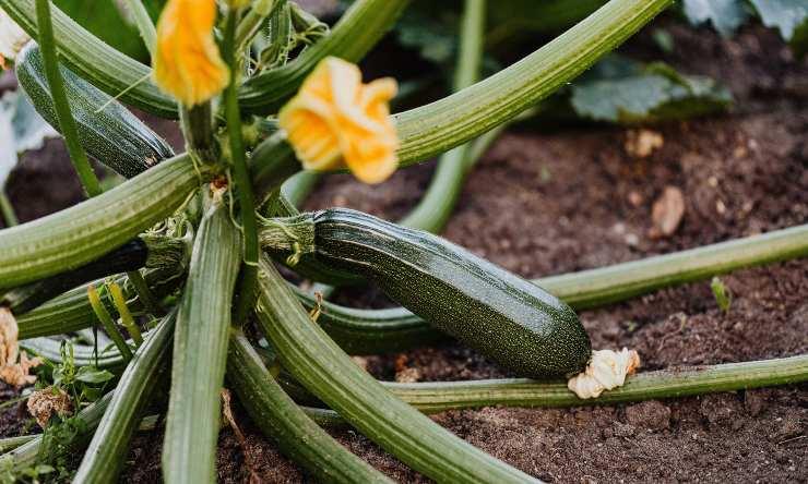 benefici delle zucchine