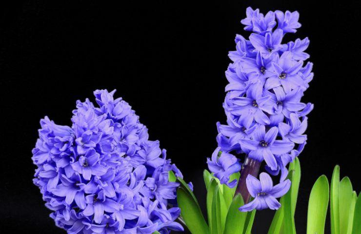 Come far fiorire un Giacinto fuori stagione