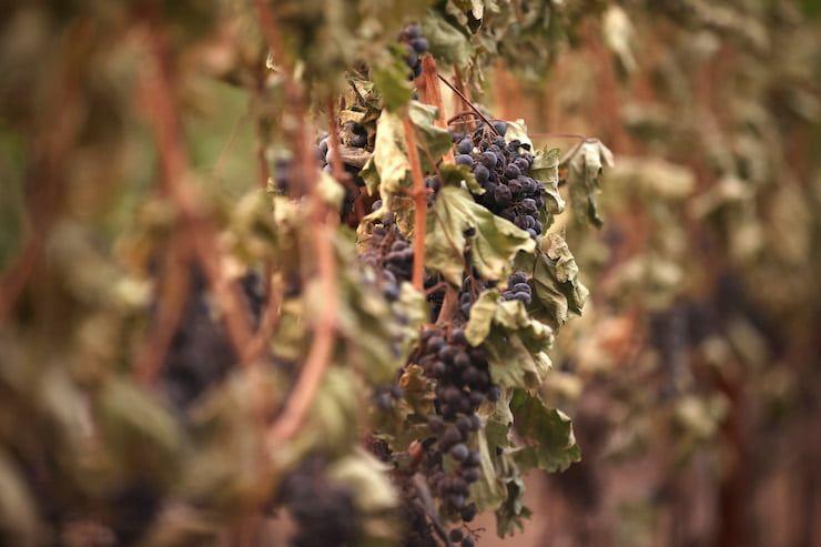 L'apporto benefico dei vinaccioli (Getty Images)