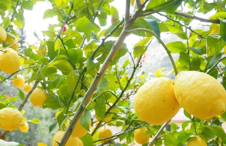 come proteggere la pianta di limoni dal freddo